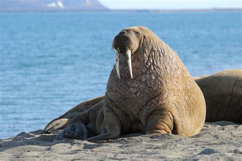 filewalrus  poolepynten svalbard arctic