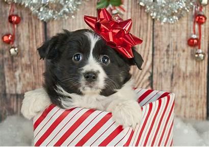 Puppy Christmas Gift Australian Shepherd Dogs Head
