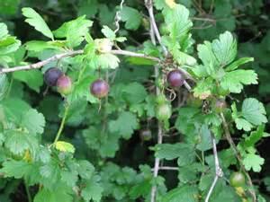 Wild Gooseberry Plant