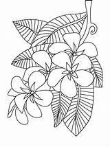 Coloring Flower Pages Peony Frangipani Plumeria Printable Sheets Colouring Adults Floral Adult Patterns Flowers Drawing Designs Getcolorings Beach Embroidery Template sketch template