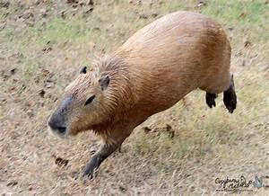 Dog Invasion! « Capybara Madness