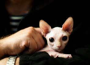 hairless cats for hairless cats