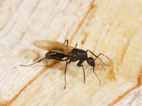 carpenter ants with wings termite damage repair in springfield illinois missouri wood damage repair