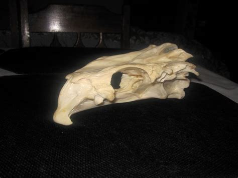 skull grouper whatisthis missing cranium most