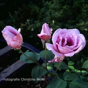Mainzer Fastnacht Rose : 39 mainzer fastnacht 39 teehybride ~ Orissabook.com Haus und Dekorationen