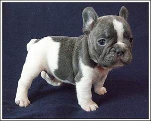 Love this baby Frenchie! | f r e n c h i e s | Pinterest ...