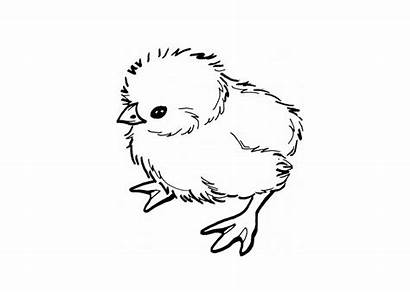Coloring Chick Chicken Pages Printable Chicks Drawing