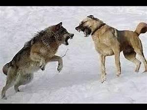 Lone Wolf vs Kangal dogs - Wolf kills a Sheep!!! - YouTube