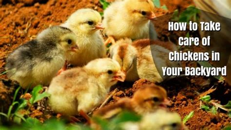 Caring For Chickens In Backyard by How To Take Care Of Chickens In Your Backyard Best