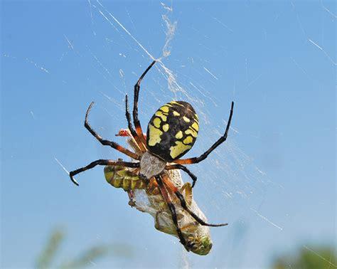 Black And Yellow Garden Spider(female)