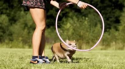 Pig Dog Smart Animated Trick Hoop Tricks