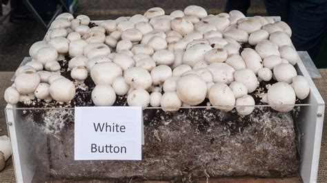 growing button mushrooms how to grow button mushrooms at home chatime ca
