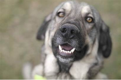 Mastiff Spaanse Clive Howes