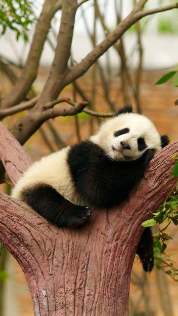 fondos de pantalla de pandas osos panda