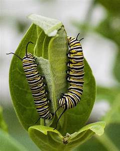 Very Crafty Caterpillars  U2013 Compasslive