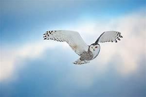 """Snowy Owl"" by Ian Plant"