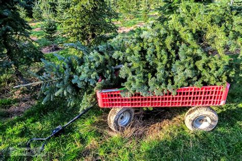 pine meadows christmas tree farm finding the one at the tree farmfunky junk interiors