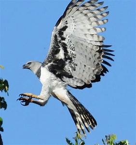 9 Best Images About Harpy Eagles On Pinterest Names
