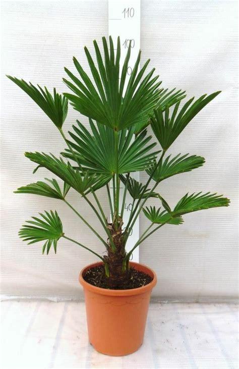 palmier chanvre en pot palmier d int 233 rieur esp 232 ces propri 233 t 233 s et conseils d