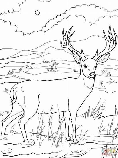 Deer Coloring Pages Blacktail Mule Printable Drawing