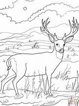 Coloring Mule Deer Popular sketch template