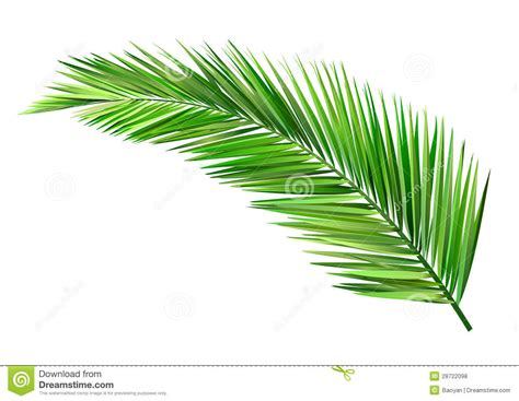 Coconut leaf stock vector. Illustration of plant, vector - 28722098