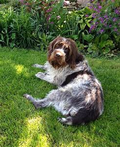 45 best Wire hair pointing griffon images on Pinterest ...