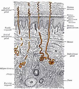 Diagram Of Sweat Gland