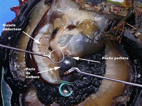 la le de poche naissance d une perle naturelle perle tahiti fr