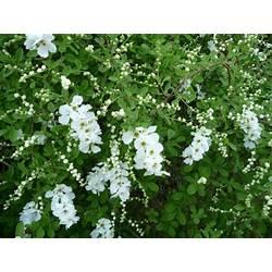 White flowering shrub identification early spring gardening white flowering shrub identification early spring gardenscapes by joanna fabulous flowering shrubs mightylinksfo