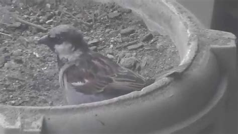 bird dust bath house sparrow youtube