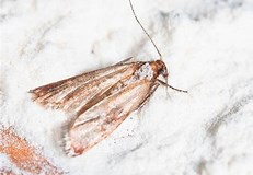 Image result for Pantry Moths