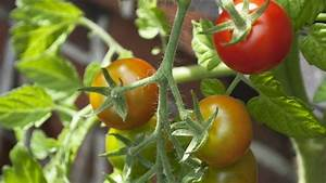 Pferdemist Für Tomaten : bittersalz d nger f r tomaten und zimmerpflanzen frag mutti ~ Watch28wear.com Haus und Dekorationen