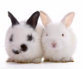 le lapin nain clinique v 233 t 233 rinaire du dr kupfer paris