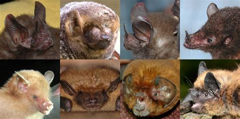 bat week day    faces  bats healthy wildlife