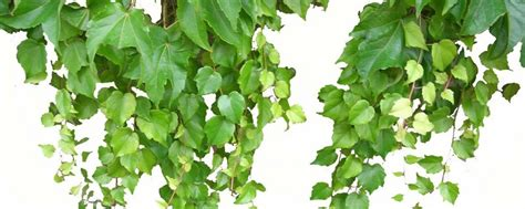 balkonpflanzen winterhart mehrj 228 hrig balkonpflanzen kaufen balkonpflanzen winterhart
