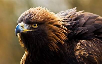 Hawk Animal Prey Birds Wallpapers Background
