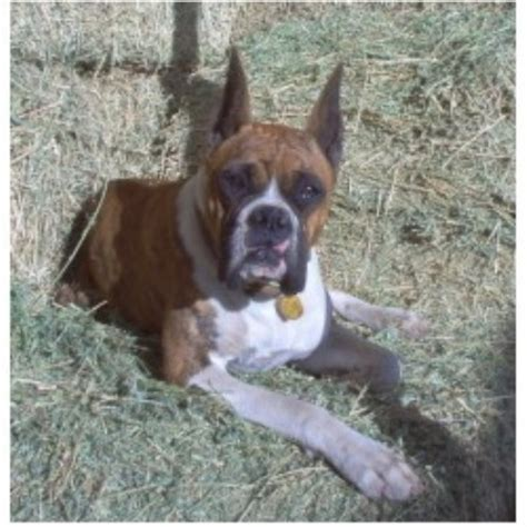 Gold Buckle Kennel Boxer Breeder In Hemet California