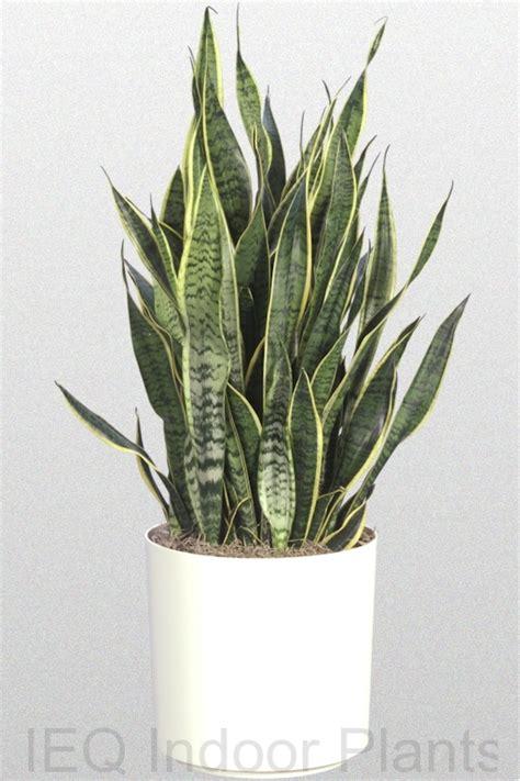 low light plants best indoor plants brisbane zanzibar gem low light plants
