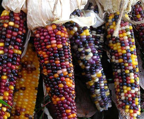 cherokee long ear small popcorn   southern exposure