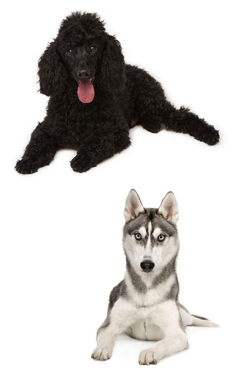 Husky Poodle Mix A Complete Guide To A Fascinating Cross