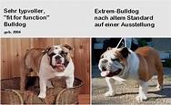 Archiv Zucht Genetik / Englische Bulldogge