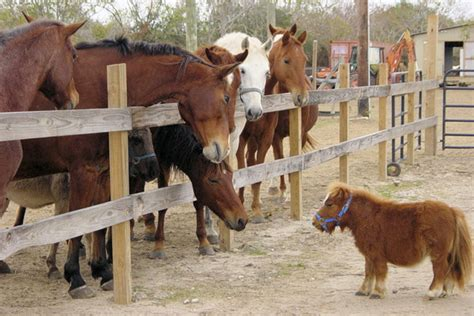 pony horse smallest tall horses tiny inches stories animals confidence