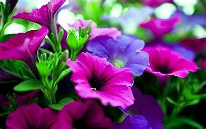 Purple Flowers Flower Wallpapers Backgrounds Violet Desktop