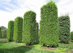 Thuja Baum Spitze Schneiden : thuja hecke pflanzen thuja pflanzen und pflegen so wird 39 s gemacht thuja hecke pflanzen und ~ Pilothousefishingboats.com Haus und Dekorationen