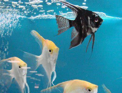 le poisson scalaire le roi de l aquarium de poissonsdesayat