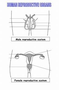 Reproductive Organs By Blazer - Teaching Resources