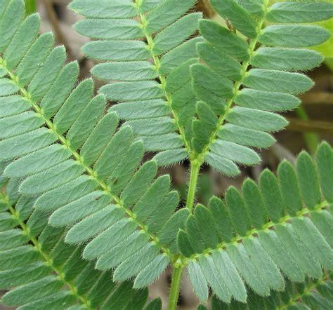 File:Acacia - leaf detail (6652577893).jpg - Wikimedia Commons