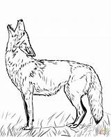 Coyote Coloring Pages Howling Drawing Printable Tattoo sketch template