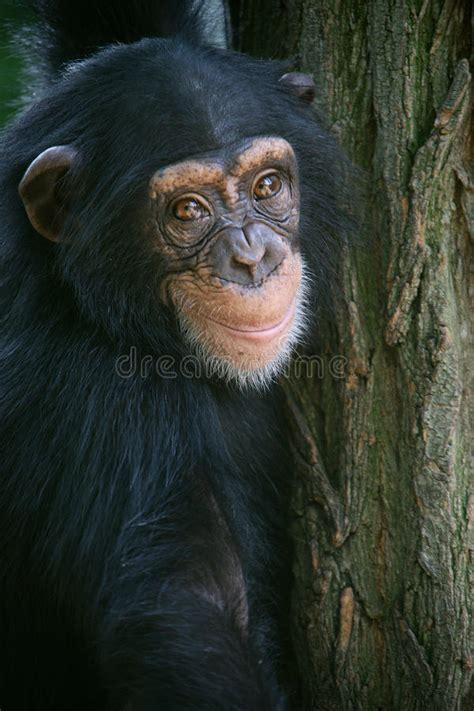 smiling chimpanzee stock of africa chimpanzee 15155677